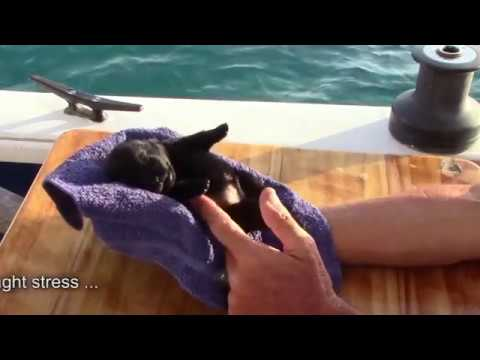 Sailing Schipperke puppies - Glimpses of what to expect during their 2nd week