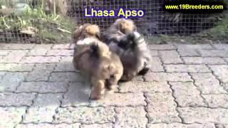 Lhasa Apso, Welpen, Für, Verkauf, In, Nordrhein Westfalen, Deutschland, Bayern, Hessen