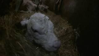 Vêlage d'une de nos vaches