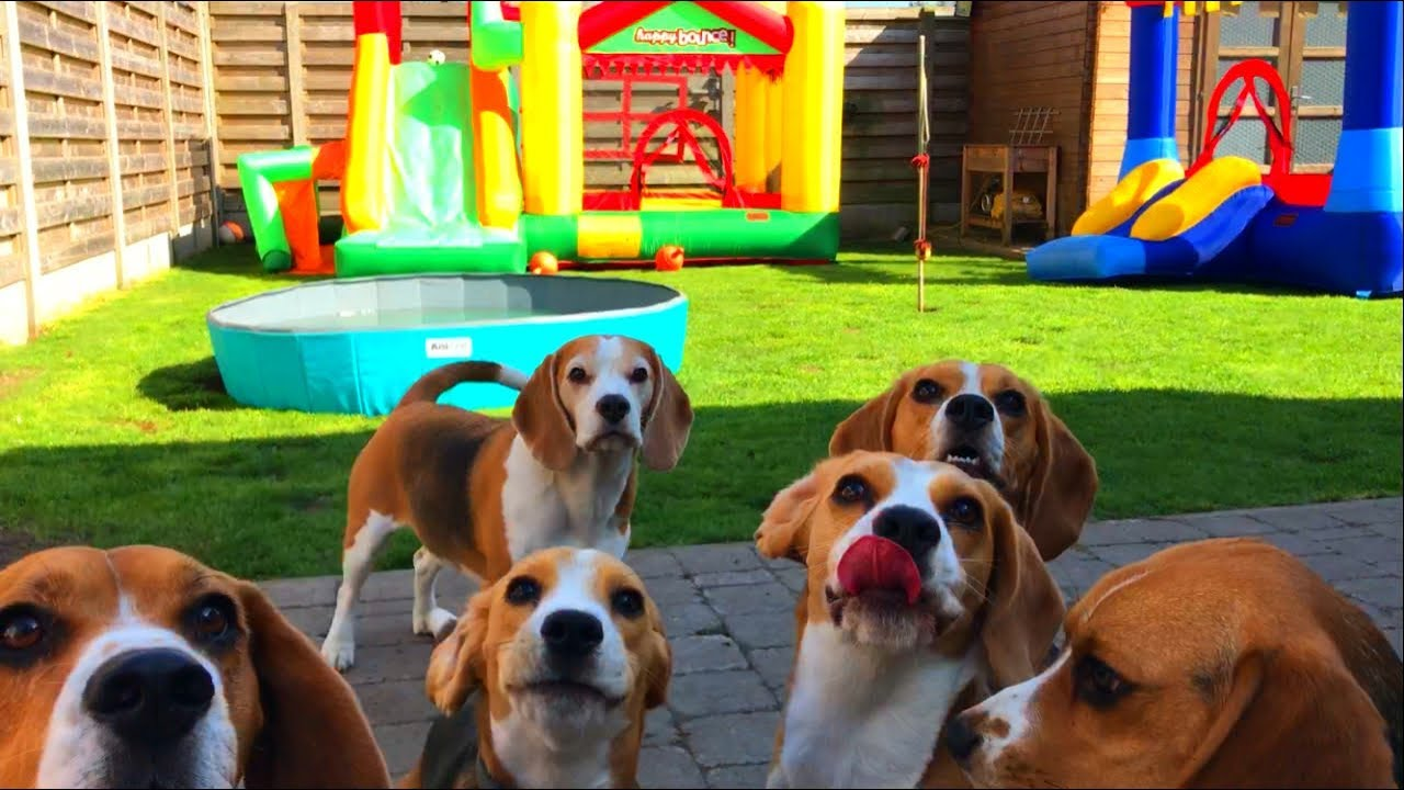 Top Super Cute Beagle Adorable Dog - maxresdefault  2018_738082  .jpg
