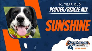 1 y/o Pointer/Beagle mix (Sunshine) | Fredericksburg, Va | Best Dog Trainers In Virginia