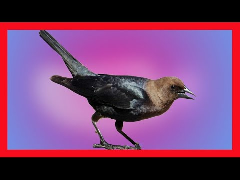 Brown Headed Cowbird Song - Download CD - Excellent - Download CD Molothrus Ater