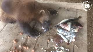 """Росомахи: свирепые """"медвежата"""""""