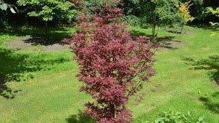 Acer palmatum 'Skeeter's Broom' video