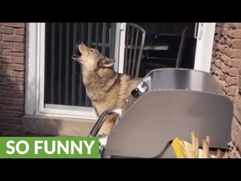 Wolf dog howls along to passing sirens
