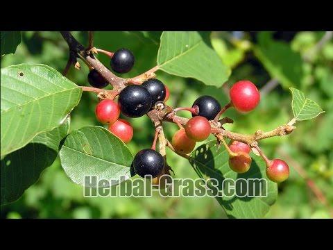 Свойства коры крушины: полезные, лечебные и противопоказания