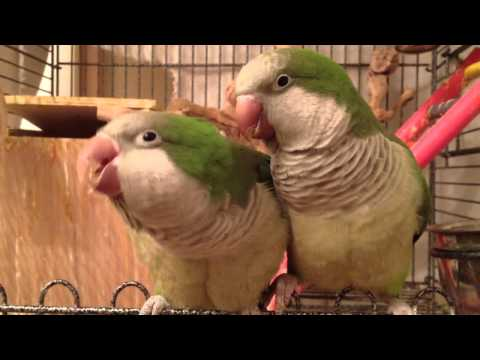 Quaker Parrots: Two Cute Parrots