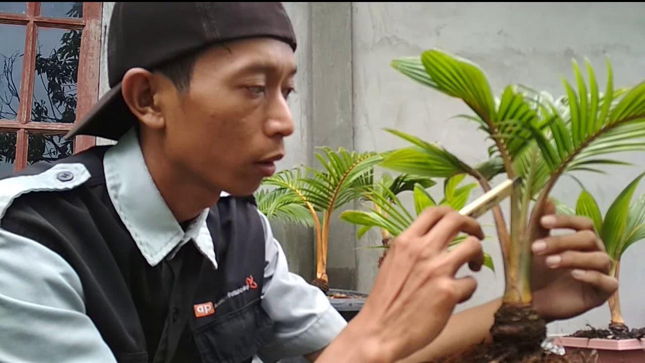Seputar Bonsai Kelapa Bonkla By Lakui To