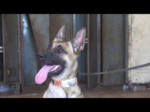 Gucio Belgian Malinois   Detection Inside And Outside