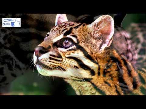 Дикая кошка породы Оцелот: описание и содержание в домашних условиях