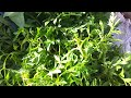 Khmer Vegetable 52.Garland Chrysanthemum.