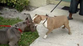 GOTTI LINE/ RAZOR'S EDGE PITBULLS WE HAVE PUPPIES 4 SALE OFF OF OBA...