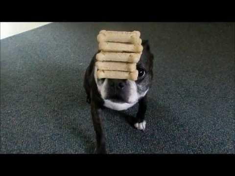boston-terrier-holds-7-dog-bone-treats-on-nose