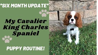 My Puppy Routine | Six Month Update! | Cavalier King Charles Spaniel