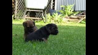 Border Terrier- Terriland 11