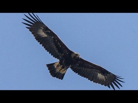 Despre Vultur - Informatii si curiozitati | Wiki Animale