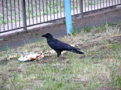 how to make crows go away