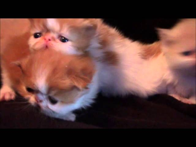 Persian Kittens at 3 weeks old