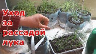 Уход за рассадой лука-чернушки и лука-порей. Стрижка, подкормка, закаливание