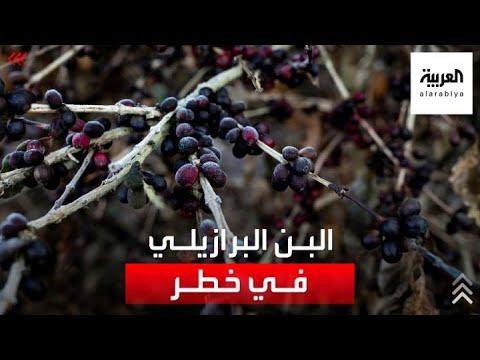 محاصيل البن البرازيلي في خطر مع انخفاض درجات الحرارة