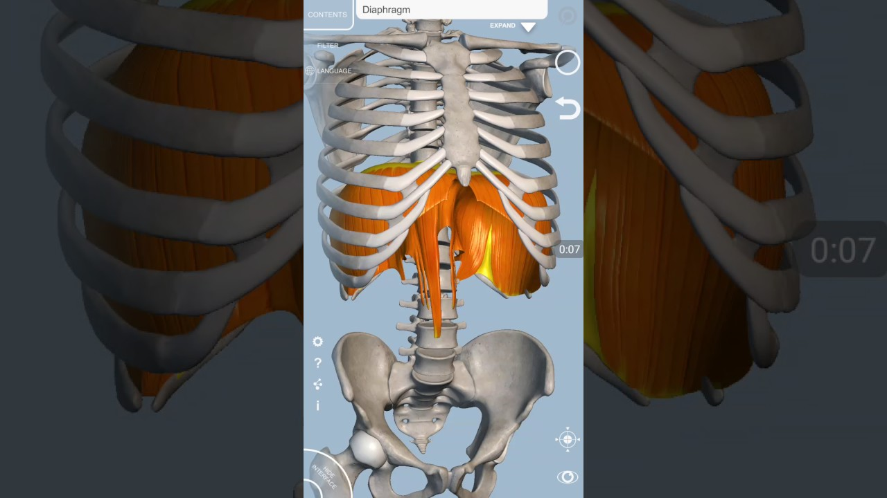 Diaphragm Muscular Attachments And Major Openings Youtube