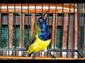 Suara Terapi Burung Sogon Suara Memancing Sogok Ontong Cepat Gacor  Mp3 - Mp4 Download