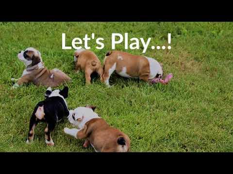 Puppies -Toddlers | Sugarplum Bulldogs the smaller English Bulldog
