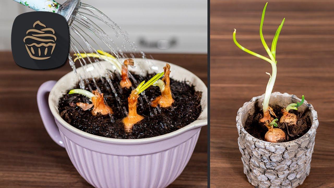 Ausgewachsene Zwiebeln einsetzen & verwerten | Praktische Küchentipps