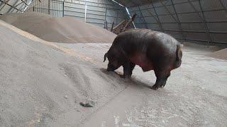 Крупная белая порода свиней характеристика фото видео отзывы