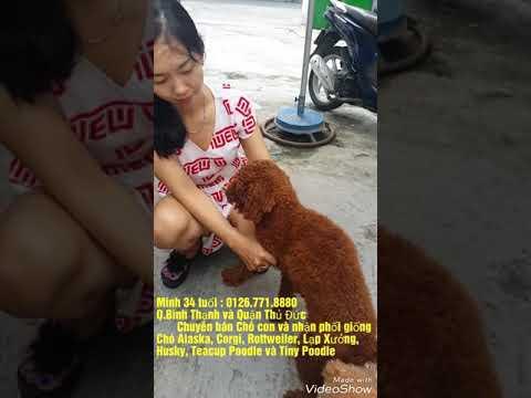 Phối giống Chó Tiny Poodle nâu Q.BìnhThạnh và Quận Thủ Đức. Minh 35 tuổi : 076.771.8880