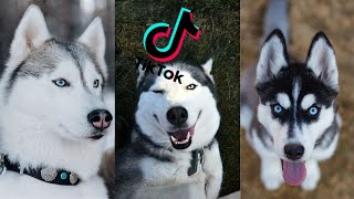 Cutest Husky Compilation Of TikTok 2021 | Cute and Funny