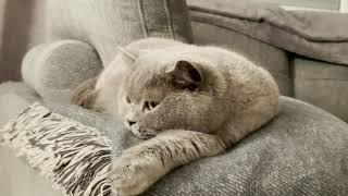 Relax My Cat - Sleep Music For Cats - Video 4K - Музыка - Видео С Kошкой - Britishhorthair