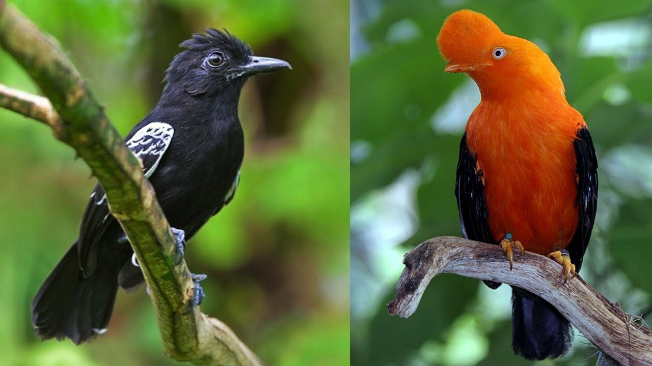 10 Most Beautiful Birds of Amazon Forests