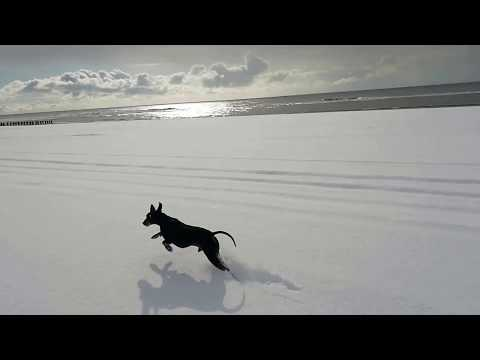 Chester the Manchester terrier and the snowy beach