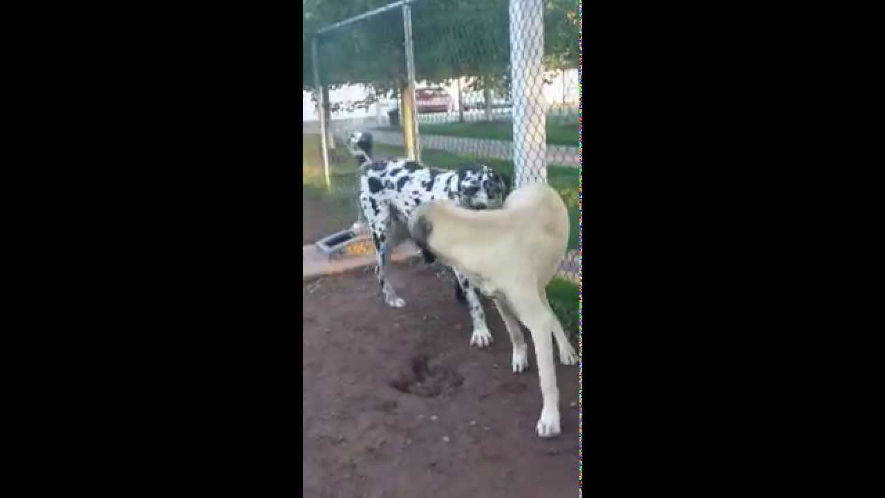 10 1/2 month old kangal vs.great dane/rottweiler mix,great ...