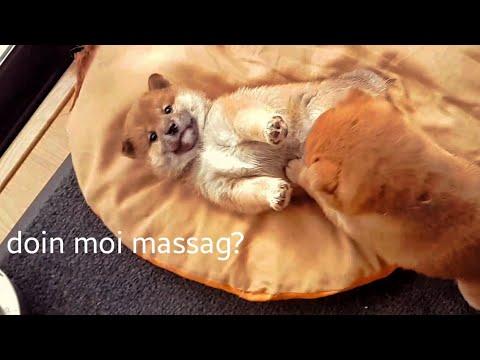 My life is potato. Ep 10 / Shiba Inu puppies