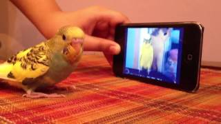 Austrailian Parrot sound (chirping)