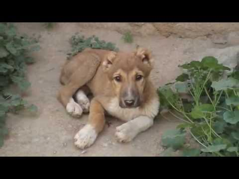 The Sherock Story-An Afghan Dog