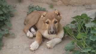 The Sherock StoryAn Afghan Dog