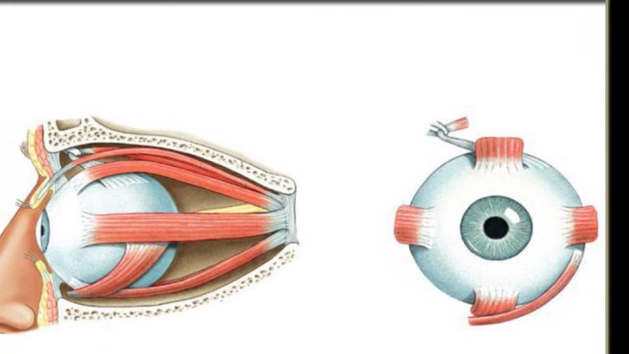 hight resolution of extrinsic eye muscles