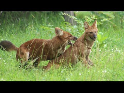 Wild Dog Packs of the Indian Forest | Wildlife Documentary 2016