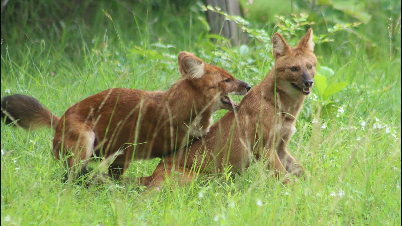 Wild Dog Packs Of The Indian Forest Wildlife Documentary