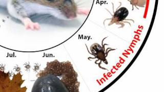 How Do Deer Ticks Become Infected With Lyme Disease?