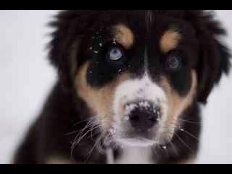 Bernese Mountain Dog Australian Shepherd Mix Shop For Your