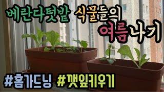 홈가드닝?베란다텃밭 식물들의 여름나기 | 깻잎 키우기 …