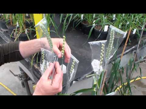 GRU Information Resource 3: Guide to how to pollinate wheat florets.wmv