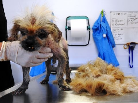 Abandoned Pekingese hides sth worse than ticks under his matted hair