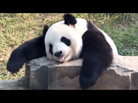 Cute panda video collection,Filmed in Chinese panda culture  2018