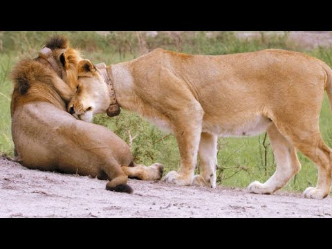 Why Male Lions Need Lionesses To Help Them Survive Youtube