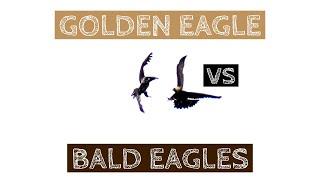 Golden Eagle vs Bald Eagles in New York